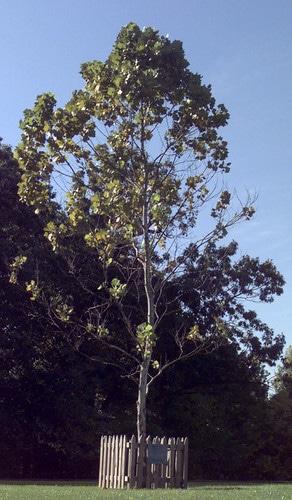 moon tree via nasa and usda on the happy list