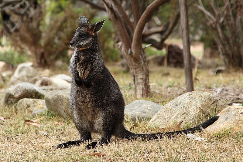 swamp wallaby via wikipedia on the happy list